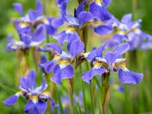 Pretty Purple And Yellow Irises In A Garden