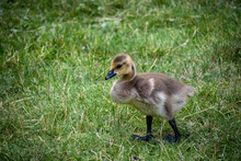 Baby Goose On The Grass