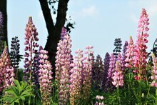 Close Up Of Colorful Pink And Purple Lupins