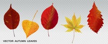 Set Of Colorful Autumn Leaves. Vector Illustration. Collection Of Various Autumn Leaves, Wonderful Elements To Your Design