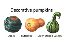 Decorative Pumpkins Set. Acorn, Butternun, Green Striped Cushaw. Watercolor Hand Drawn Illustration Isolated  On White Background