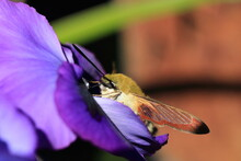 Broad-bordered Bee Hawk-moth On A Plant