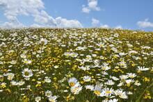 A Field In Bloom Under A Cloudy Sky, Sainte-Apolline, Québec