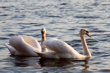 Beautiful Waterfowl Two Bird Swan On The Lake In Spring