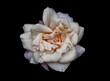 Biała róża na ciemnym tle