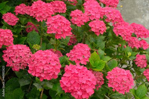 Una pianta di ortensie di colore rosa.