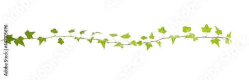 Fotografie, Obraz Ivy twig with small green leaves isolated on white