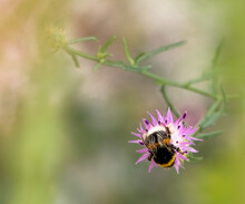 Solitary Bumblebee With Yellow Stripes And White Tail Collecting Pollen On Purple Flower With Pollen Bags On The Sides