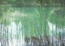 Reeds With Yellow Flowers In The Upper Part Growing In The Water Of The Tajo River In Spain