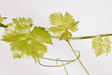 Young Vine Leaves On An Isolated White Backdrop Background. Text Area For Your Messages.