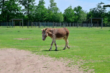 Full Body View Of A Zonkey Which Is A Cross Between A Donkey And A Zebra, Seen In Canada