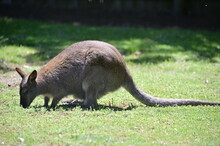 Closeup Of The Red-Necked Wallaby Or Bennett's Wallaby (Macropus Rufogriseus) Standing In The Grass. Eating Wallaby
