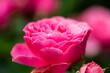Leinwandbild Motiv pinkfarbene Rose, Gartenzeit, Rosenzeit