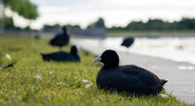 Coot Bird Sitting On The Gras Next To Lake - More Coots In The Background Blurred