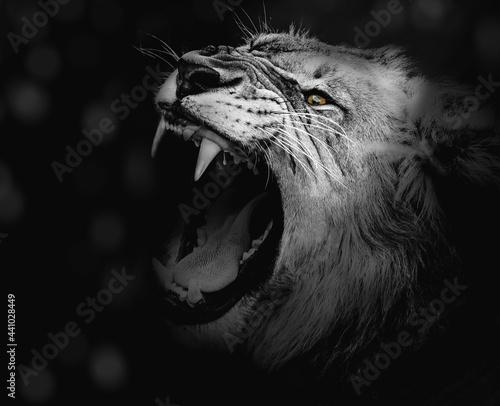 Leão , lion Fotobehang