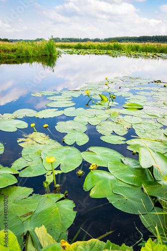 Fototapeta Water filled ditch with water lilies in the Dutch polder landscape near Gouda