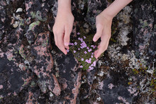 Outstretched Hands Against The Background Of Defenseless Flowers Growing On Rocks In The Tundra