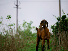 Baby Goat Standing Alone On Green Forest Field.