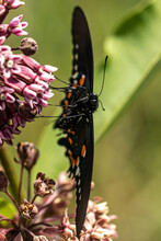 Pipevine Swallowtail On Milkweed