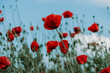 Moody selective focus of elegant red poppy flowers growing interlaced in a field of wild red poppies bokeh background against pastel blue sky