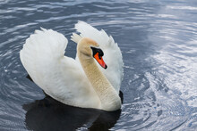 Graceful White Mute Swan On Blue Rippled Water. Cygnus Olor. Close-up Of Majestic Wild Waterbird With Orange Beak And Fluffy Plumage On Its Wings Swimming On Shiny Pond Surface. Tranquil Nature Scene.