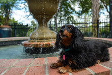 Black Long Hair Mini Dachshund With Fountain In Background