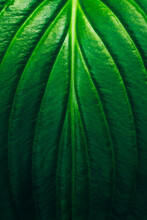 Green Plant, Texture Leaf Foliage Background, Vertical Image.