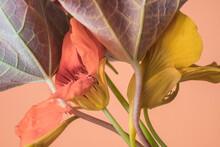 Yellow And Orange Nasturtium Flowers, Close-up, Studio Shot, Beige Background..