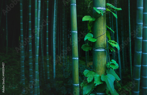 Fotografie, Obraz Bamboo trunk covered with envy in mystical forest at Arashiyama grove in Kyoto,
