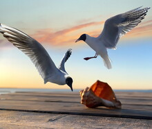 Seagull Fly And Seashell On Wooden Pier At Sea Landscape Sunset Seascape  Wild Nature Background