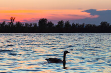 Canada Goose At Sunset On The Saint Laurent River