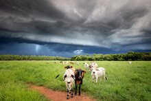 Cattle And A Stormy Sky - Northern Territory