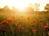 Fototapeta Na sufit - field of poppies