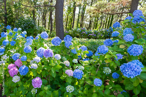 Fotografie, Obraz 神奈川県横浜市八景島のあじさい