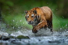 Wildlife In The Forest, Tiger River Water Walk.  Amur Tiger, Angerous Animal In Taiga, Russia. Animal In Green Forest Stream. Grey Stone, River Droplet. Panthera Tigris Altaica In Nature Habitat.