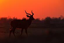 Kudu Sunset. Greater Kudu, Tragelaphus Strepsiceros,  Handsome Antelope With Spiral Horns, Sunset Light. Animal On Hill, Mana Pools, Zimbabwe. Kudu In Africa. Wildlife Scene From African Nature.