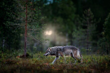Wolf From Finland. Gray Wolf, Canis Lupus, In The Spring Light, In The Forest With Green Leaves. Wolf In The Nature Habitat. Wild Animal In The Finland Taiga. Wildlife Nature, Europe.