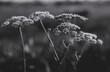 Dzika marchew Daucus carota subsp. carota kwiaty polne, łąkowe, zdjęcie czarno-białe