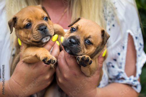 Fotografering Staffordshire bull terrier, wonderful puppies from professional breeding of purebred dogs in Poland
