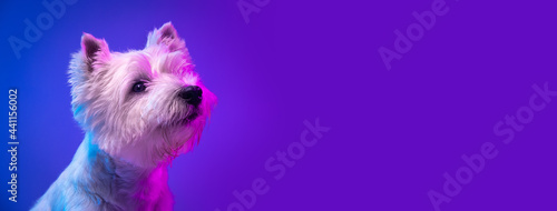 Portrait of cute white beautiful West Highland Terrier posing isolated on purple background in neon light.
