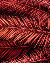 Full Frame Of Purple Palm Leaves Texture Background. Tropical Leaf