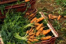 Close Up Of Bunches Of Freshly Picked Carrots In A Plastic Crate.