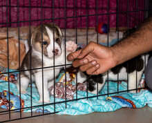 A Cute 3 Week Old Beagle Puppy Behind A Fence Playing With A Mans Hand