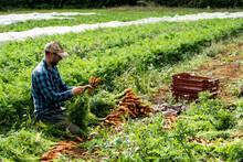 Farmer Kneeling In A Field, Holding Bunch Of Freshly Picked Carrots.