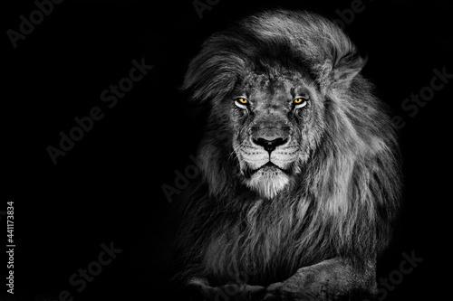 Valokuva Lion king isolated on black , Portrait Wildlife animal single
