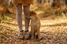 Beautiful Woman Walking Shiba Inu Dog In Fall Forest. Autumn Mood