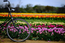 Field Of Tulips And Rustic Bicycle