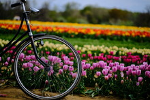 A Bicycle Tire In A Field Of Tulips
