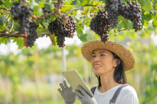 Red Grape Farm. Female Wearing Overalls And A Farm Dress Straw Hat, Smart Farming Agricultural Technology And Organic Agriculture Woman Using The Research Tablet And Studying The Development. Business