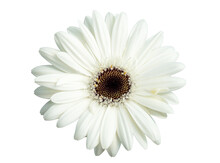 Bright White Osteospermum Or African Daisy Flowers, . Other Common Names Include: South African Daisy, Cape Daisy And Blue-eyed Daisy.